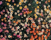 Fall Sale Leptosiphon Seeds - French Hybrids Mix, Bright shades of rose, yellow, orange and cream,flower bed, containers, pathway,or ground