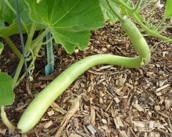 Cucuzzi (Italian Edible) Gourd Seed, much like summer squash