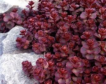 Sedum Voodoo Groundcover Seed,Finger Aloe ,SUCCULENT GROUNDCOVER,Stone-crop