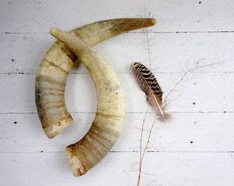 Natural unpolished bull horns