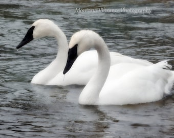 Trumpeter Grace - Trumpeter Swans Photo Print or Card