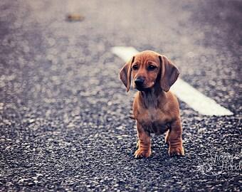 Mini Dachshund Wall Hanging - Animal Decor - Dog Photography Print - Fine Art Photo Print - Living Room Decor - Dog Decor - Puppy Art