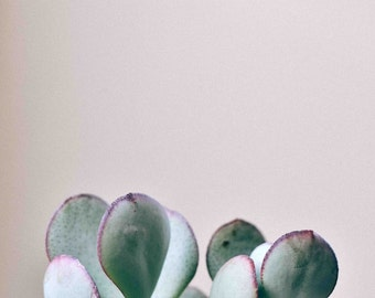 Succulent Photography Silver Dollar Jade - Pastel, Light Blue, Light Green, Minimalist, Home Decor, Wall Art, Fine Art Print