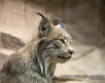 Lynx - Animal Photography, Archival Giclee Print, Wildlife Photo - Multiple Sizes Available