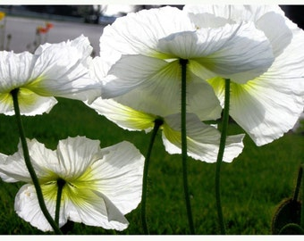 White Poppies - Full Color