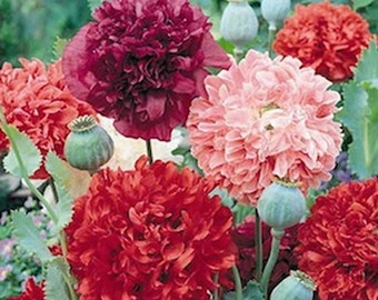 Peony Poppy-Various- Double Mix, Hens & Chicks , Salmon- 100 seeds per packet