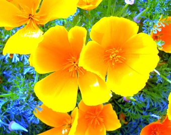 Sunshine poppies