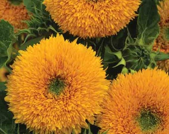 Sunflower Orange Sun * Huge!! Seeds