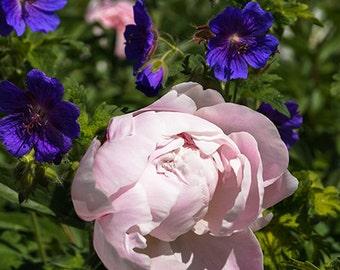 Light Pink Peony, Blooming Peony, Fine Art Print, Vertical Art, Flower Wall Decor, 8x10 8x12 11x14, Peony Flowers, Peony Art Print, peonies