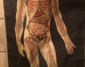 Medical chart of the human skeleton, internal organs and cardio-vasculatory system. 1942; handpainted
