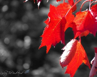 107 - Original Red Maple Leaves w/Black background - Autumn Wall Art, Home Decor, Print, Nature