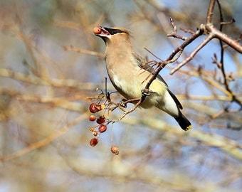 Cedar Waxwing, Nature Prints, Wildlife Photography, Nature Wall Art,Bird Art,Bird Photography,Canadian Sellers,Wildlife Decor,Large Wall Art