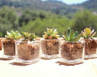 "100 DIY Rosette ONLY Succulents in 2"" containers with Beautiful square Glass Votives Complete Wedding Favor Kit succulents party gifts"