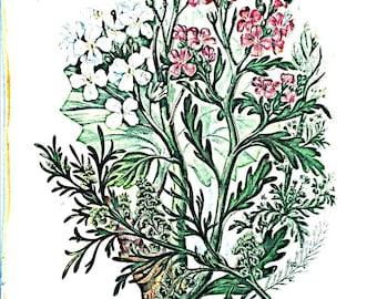 Anne Pratt Antique 1860 Botanical print, Plate 20 Asst. Cresses, Flowering Plants