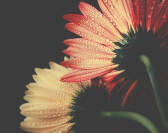 Flower photography, Gerbera daisy print, nature photograph, orange and yellow daisies, whimsical flower art print, wall decor, home decor