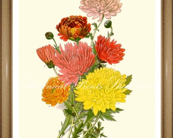 "Botanical Print. Chrysanthemum #2  Botanical Illustration. Chrysanthemum print #2  5x7"", 8x10"", 11x14"""