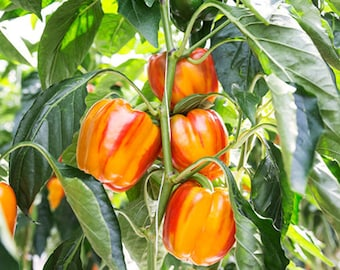 Organic Stripped Bell Pepper Seeds 20+