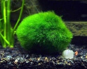 "3 Giant Marimo Moss Balls - 8-15 Years Old! - 1.5"" to 3"" - For Terrariums & Aquariums - Ships PRIORITY from USA - Live Arrival Guaranteed!"