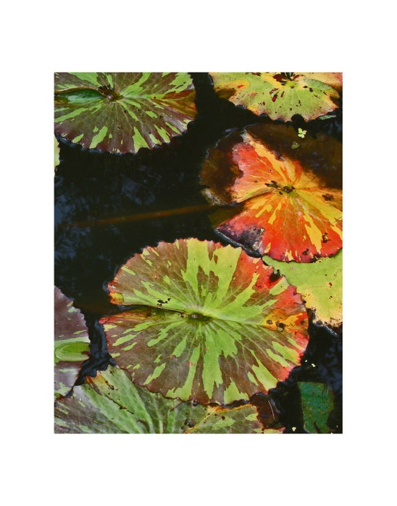 Botanical photography art print, plant photography, water lily pads photo, variegated lily pad photo art print, nature photography, wall art