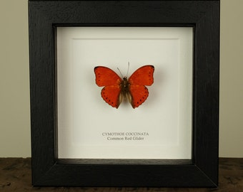 Common Red Glider in Box Frame (Cymothoe coccinata)