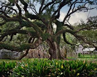 LOUISIANA LIVE OAK ~ Destrehan Plantation ~ Historic Live Oak Tree ~ Cajun Decor ~ Fine Art Photography ~