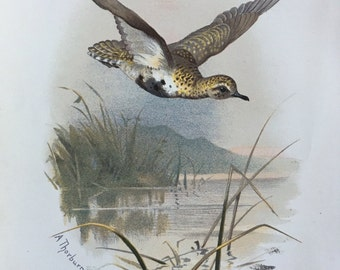Antique Original Print 1901 Britsh Birds Golden Plover