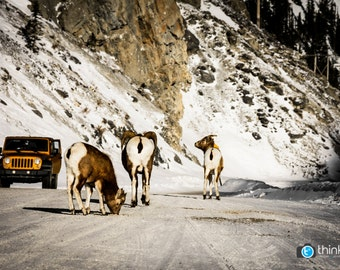 Canadian Wildlife Rocky Mountains Big Horn Sheep Photography Jeep Alberta Winter Canada Road - Photograph Photo Print - Home Decor Wall Art