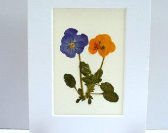 Real Pressed Flower Botanical Art Herbarium Specimen of Pansy 5x7