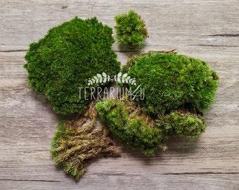 Live Pincushion Moss (Leucobryum)