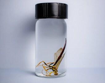 Megarhyssa Atrata Male - Wet Specimen