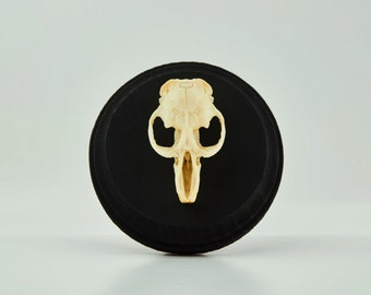 Muskrat Skull, Desk Accessory, Office Decor, Home Decor, Preserved Skull, Curiosity, Handmade, Paperweight, Gift, Taxidermy, Osteology