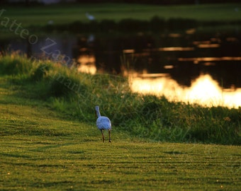 Morning Stroll Photo Print; Bird Photography, Wildlife Photography, Nature Photography, Sunrise Photography, Lake Photo || PHYSICAL PRINT