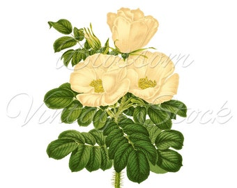 White ROSE Digital Image Botanical Prints, INSTANT DOWNLOAD, Wedding Clipart, Printables - 1749