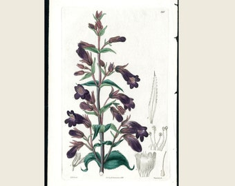 1838 Robert Sweet Antique Botanical Engraving Purple Salvia Original Hand Color Flower Print - Genuine Antique Print FREE SHIPPING