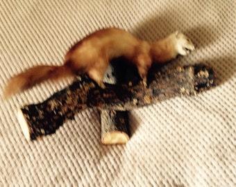 Vintage Taxidermy Beech Marten on log