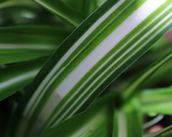 Spider Plant (Chlorophytum comosum) Reverse Stripe 2Litre (16cms) Potted Size