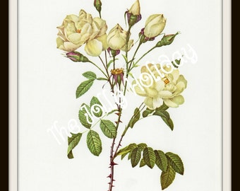 Vintage Redoute Rose Print, Ivory and Green, Botanical Book Plate, Art Print, Pierre Joseph Redoute 1978