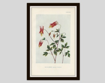 Antique Botanical Print, Cottage Decor, Wildflower, Victorian Lithograph, Original Print, Vintage Perennial, Wild Columbine, Plate CXVII