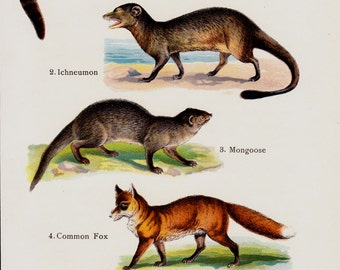 1909 Antique print of small mammals, fox, arctic forx, civet, mongoose, mustelids,.  lithograph + 100 years older