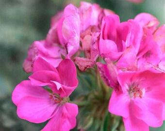 Pink GERANIUM FLOWER Photography, GARDEN Art, Nature Print, Macro, Colorful, Pink, Spring,