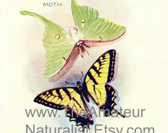 1902 Vintage Illustration, Moth and Butterfly, Luna Moth, Tiger Swallowtail Butterfly, Antique Print, Digital Download