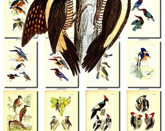 BIRDS-187 Collection of 205 vintage pictures Woodpeckers alcedo Kingfishers picus collages digital download printable images 300 dpi animal