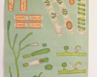 1970.Vintage School Chart.Biology.SEAWEED,algae.Natural history.Signed Jung-Koch-Quentell.Large size:82 x113 cm, 32.1 x 44.1 inches.