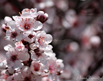Japanese Cherry Tree (1) / Delicate Springtime Cherry Blossoms / Floral, Nature, Bokeh / High Res Print / Fine Art Photography