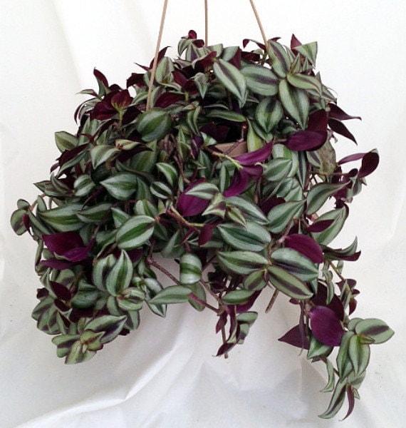 Purple wandering jew 6 hanging pot easy to grow by hirtsgardens - Wandering jew care ...