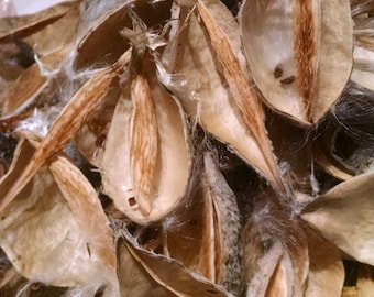 20 Naturally Dried  Milkweed Pods, Milk Weed,  Used for  Potporri, Floral Supply, Wall Art, Fairy Chairs, Christmas Ornaments, Free Shipping