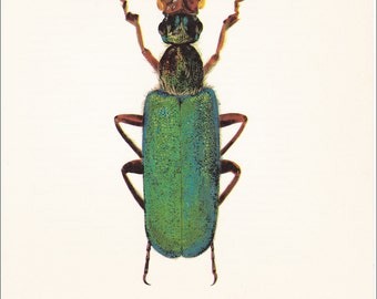 vintage beetle insect art print blue green Blister Beetle Cerocoma muehlfeldi home decor 8x10 inches