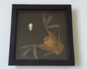Taxidermy bat and skull in a black box frame