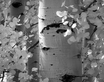 Aspen Trees Autumn Fall Black and White Forest Leaves Colorado October Rustic Cabin Lodge Photograph