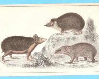Antique animal (hedgehog and tenrec) illustration